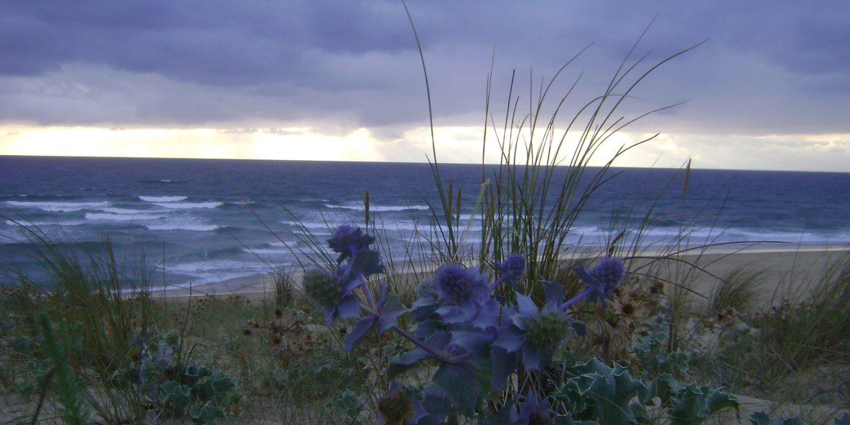 blau blühende Distel auf Düne mit Blick auf das Meer