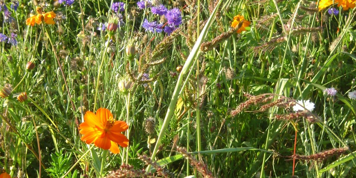 Sommer-Blumenwiese mit leuchtenden Blütenköpfen und langen Gräsern