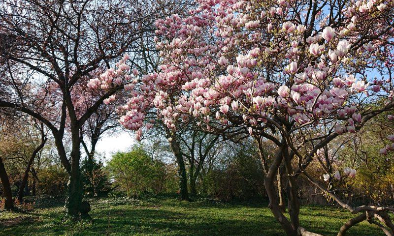 blühende Magnolienbäume