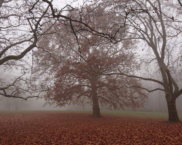 Nun ist es wieder soweit! einer der alten Bäume im Prater bei Nebelstimmung