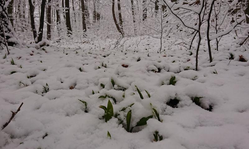 Blattspitzen des Bärlauchs ragen durch die Schneedecke