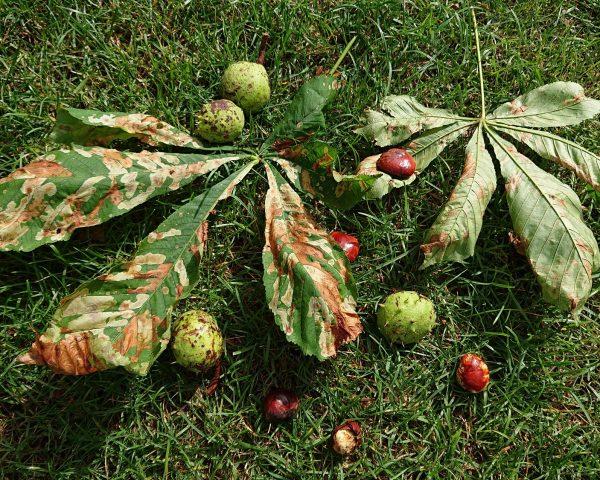 Wenn es herbstelt... die ersten Kastanien im Herbst sind zu finden