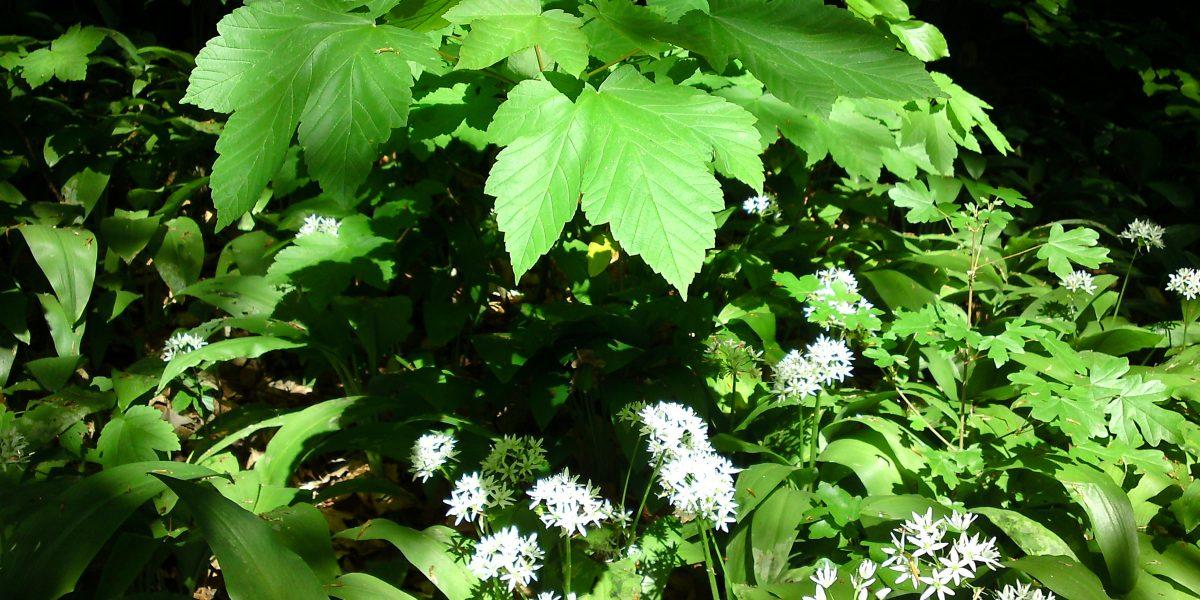 grüne Bodenpflanzen im Wald mit weißen sternförmigen Blüten